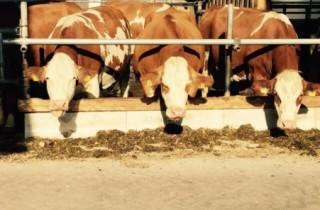 Tussen de oude en de nieuwe stal enkele meters open met doorgang en gelegenheid voor zonnebaden voor de koeien.