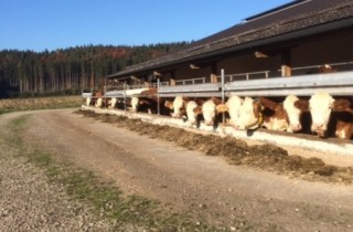 De koeien komen nauwelijks in de wei, maar genieten wel van de frisse lucht als ze daar zin in hebben.