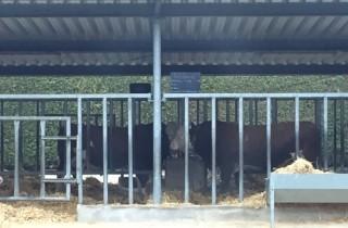 De dekstieren bij CRV in Wasserburg, staan in een open stal. Ze krijgen onbeperkt stro en max. 4 kg krachtvoer per dag.