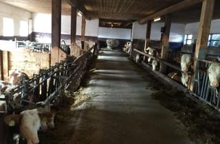 Overvolle gedateerde stallen. De boeren blij met elk hokje, de Fleckviehkoeien doen het er ondanks de soms niet zo ideale omstandigheden erg goed.