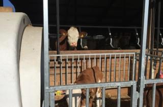 De koeien in de stal kijken uit op het jonge grut in de iglo's buiten.