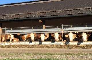 We kunnen er uren naar blijven kijken hoe fijn deze koeien het hier hebben in het zonnetje.