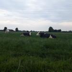 Chillende koeien